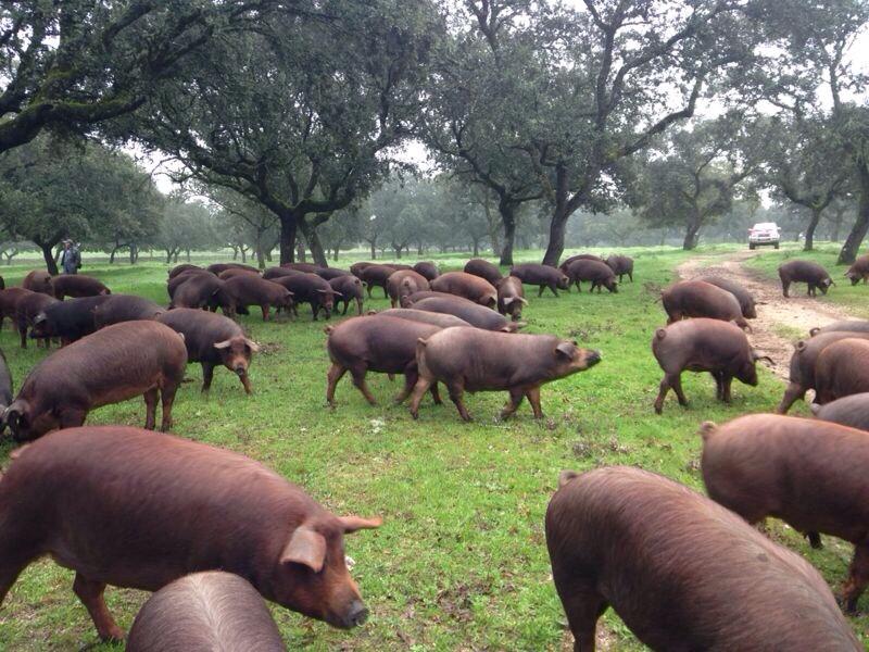 Curiosidades sobre el cerdo ibérico